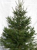 Norway Spruce  (click for larger image)