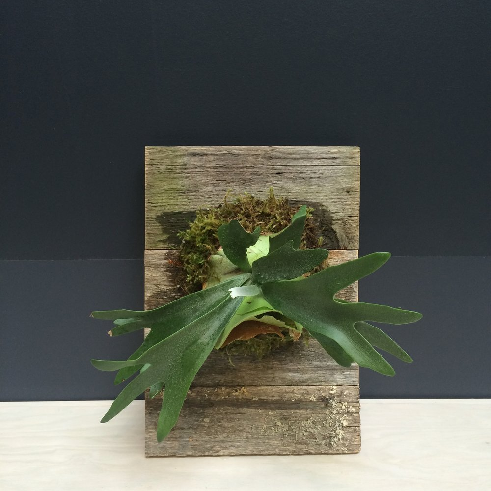 wallmounted staghorn fern.jpg