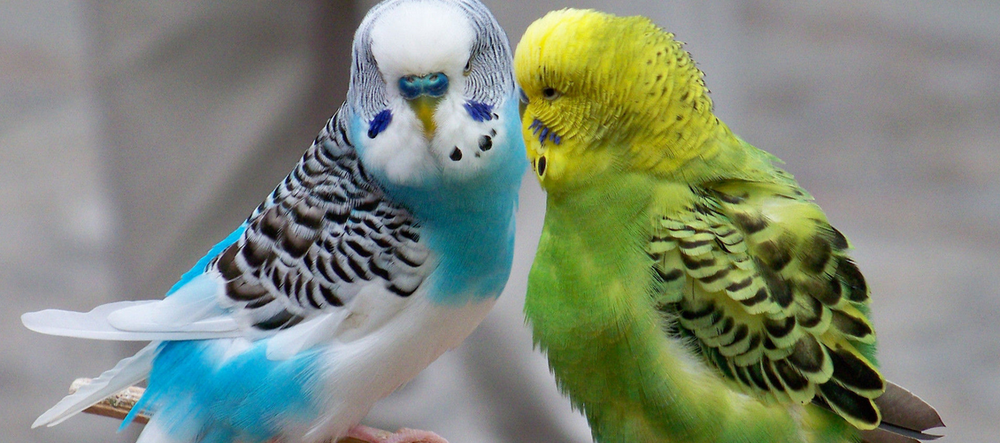 Budgies, presumably smuggled