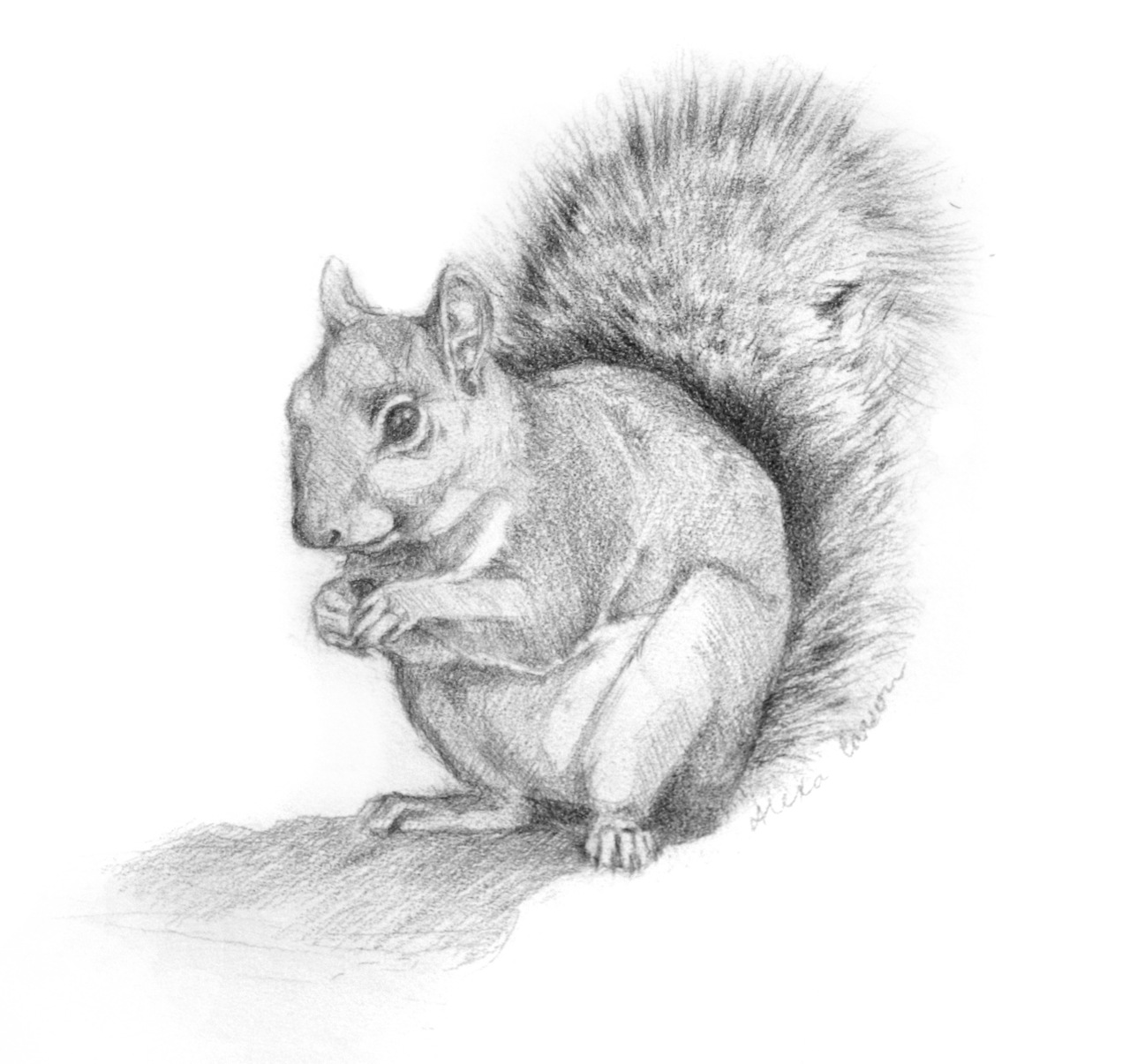 This is a little pencil drawing I did for a friend of mine who is a wildlife rehabilitator. She is is leaving the wildlife center where I work and this is her going away present.   Squirrels. They are crazy little buggers. Cute to look at from far away, but nasty to get out of a cage. Give me an eagle or an opossum any day! Boy do I have scars and stories to go along with them. Fun times :).
