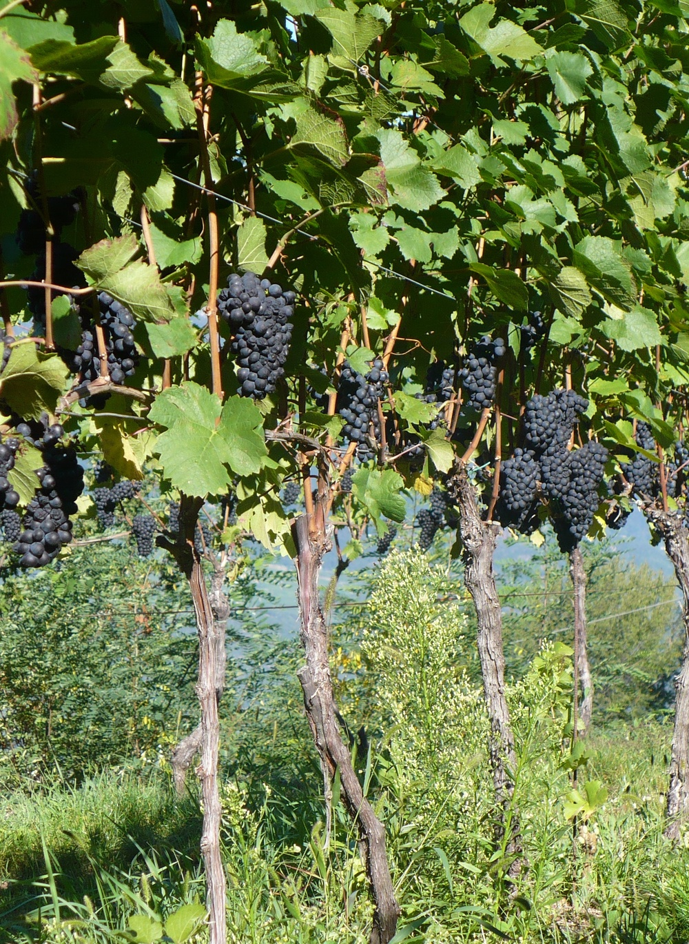 Pinot Noir Vineyards, in Gleno