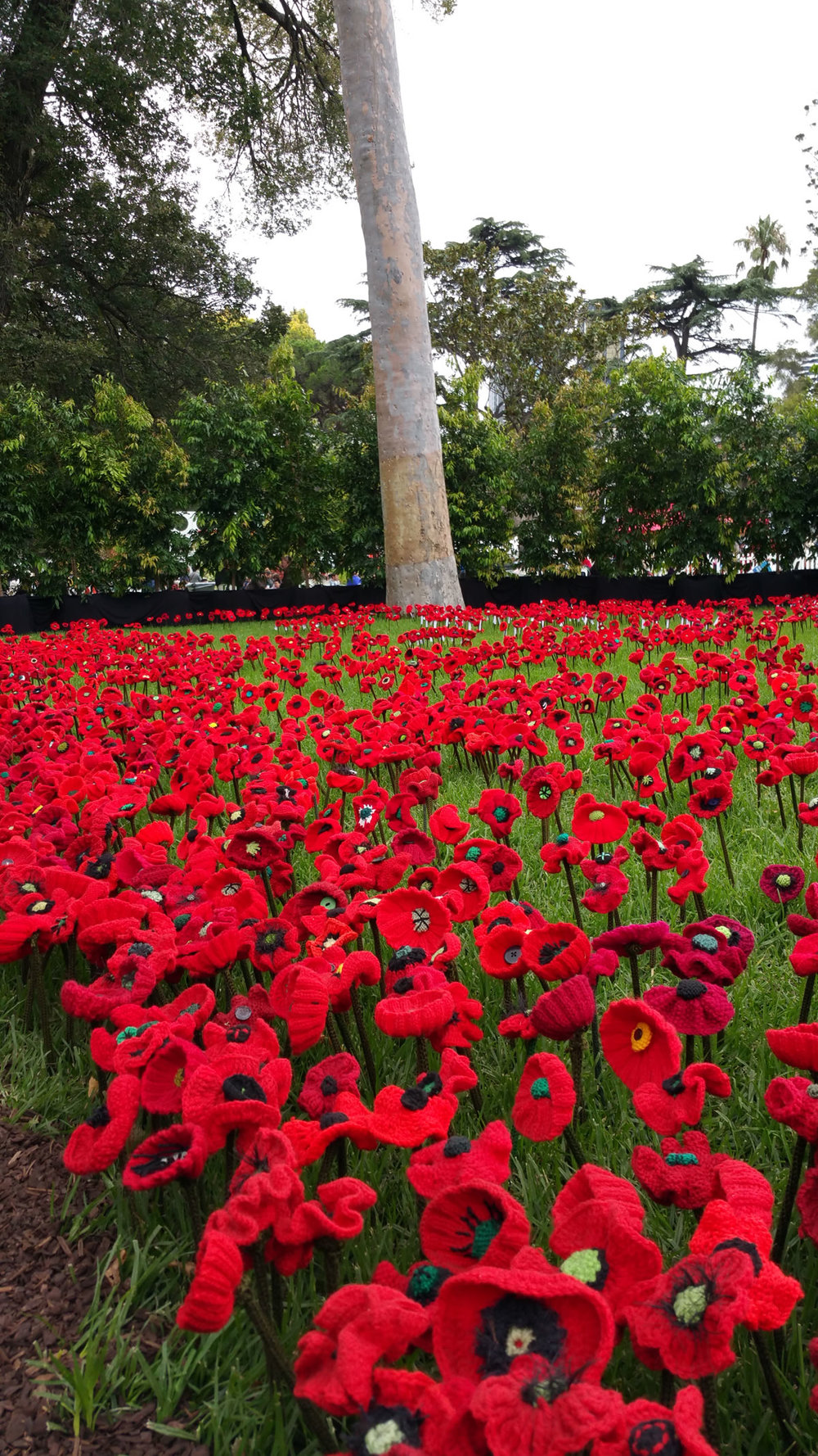 "Poppies knitted by locals for the 100 year anniversary of the Gallipoli Landing on April 25, 1914. The poppies were ""planted"" in an otherwise indigenous garden of Eucalpytus, Banksias and Grevilleas."