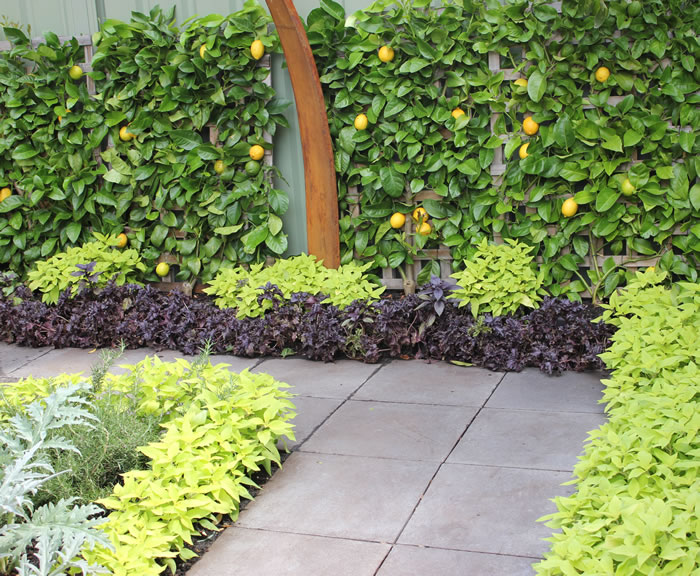 persian garden lime green grey purple leaves with espallier lemon tree melbourne