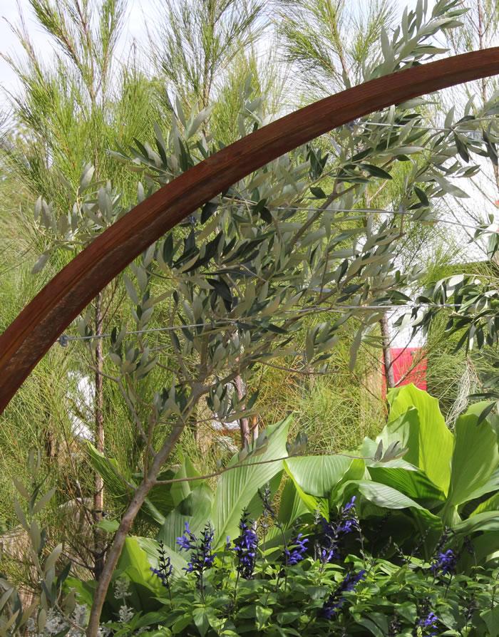 olive tree trained over pergola melbourne blue salvia