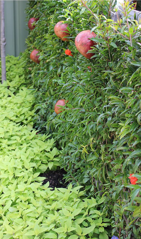pomegranite espallier on fence melbourne