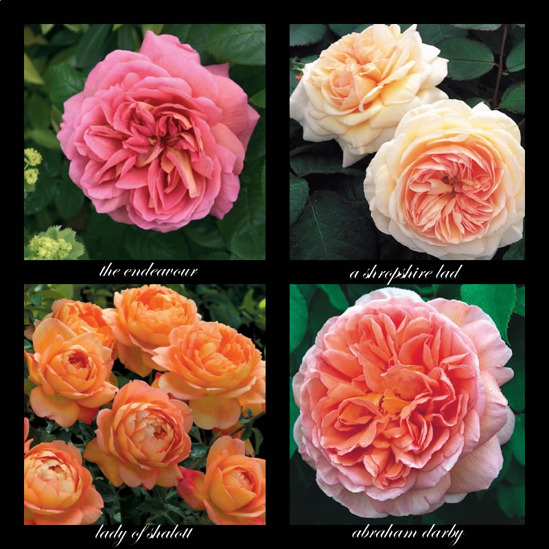 david austin roses in orange and pink