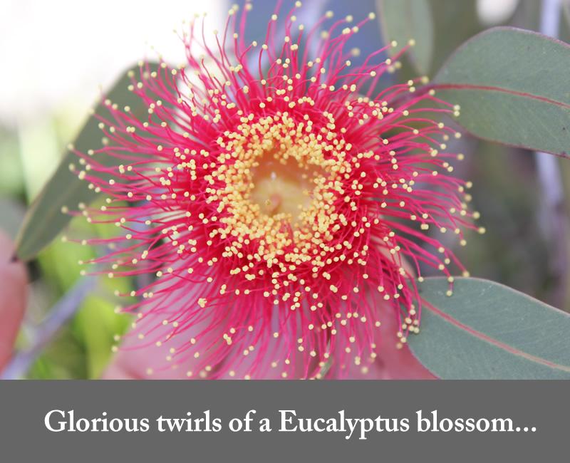 eucalyptus blossom red