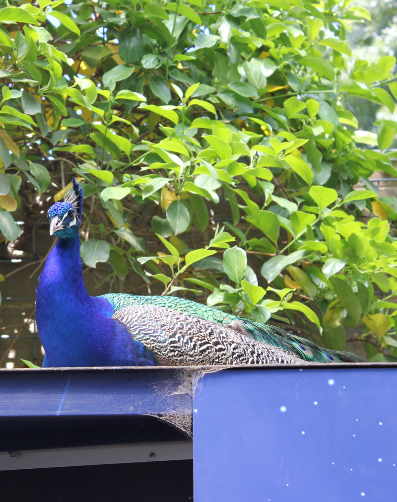 peacock on a blue wall