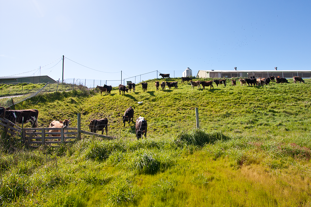 cows_in_front_of_hen_house_3.png