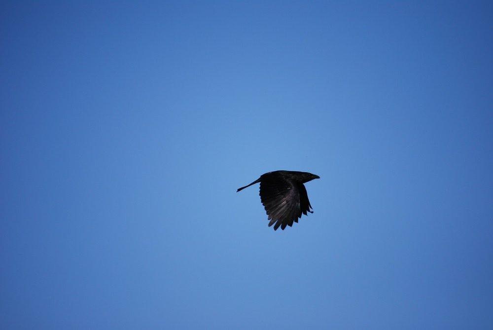 raven flight.jpg