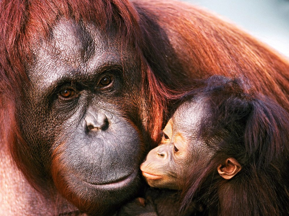 female-sumatran-orangutan-and-baby-pictures.jpg