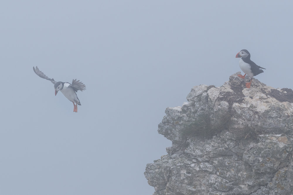 ABOVE: The puffins don't seem bothered by the sea fog. So why should I be? I continued shooting.