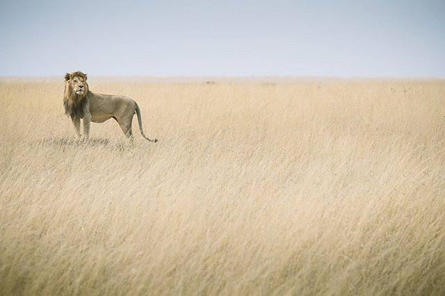 #safari #Tanzania#Lion#Serengeti#탄자니아#세렝게티