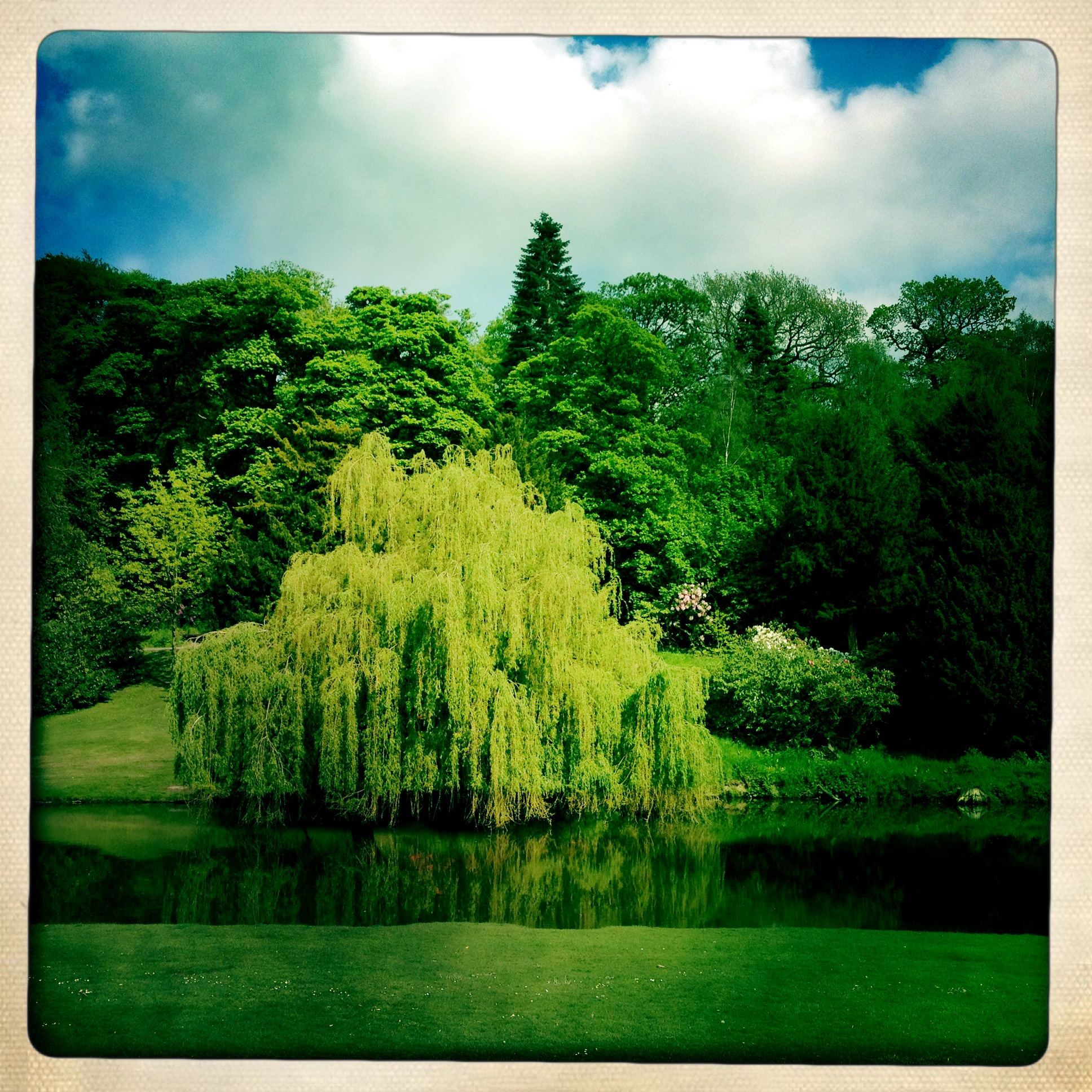 Weeping Willow - Temple Newsam