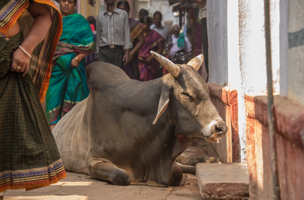 The narrow streets of Varanasi, complete with holy cow.
