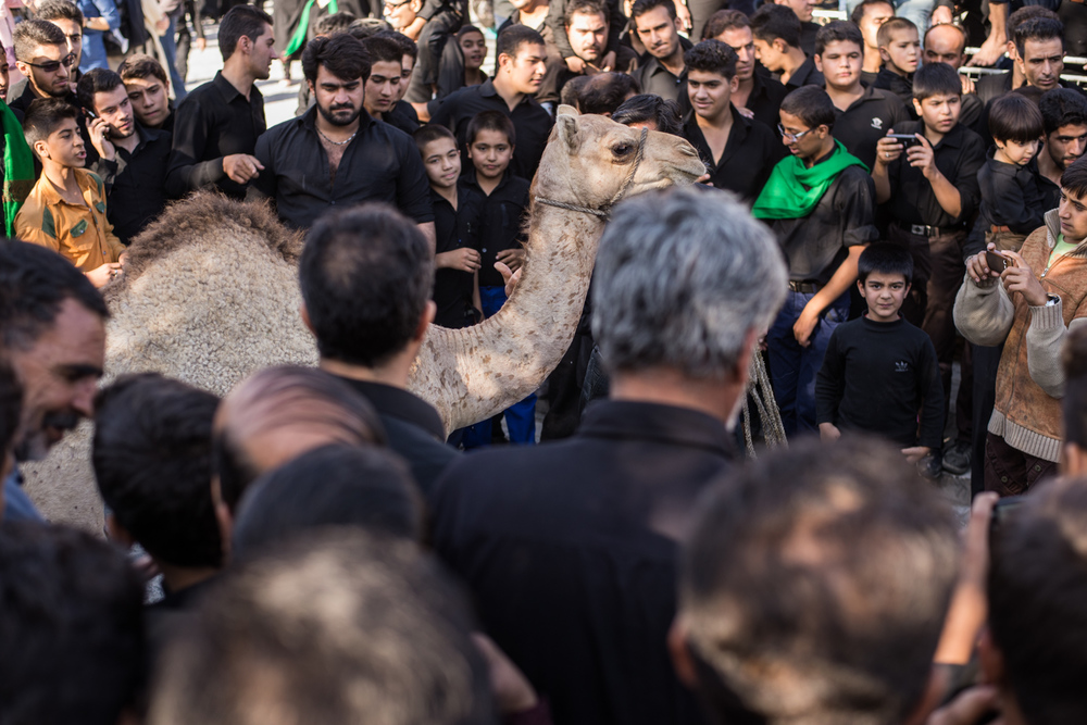 Camel being prepared for sacrifice at Ashura celebration in Yazd, Iran