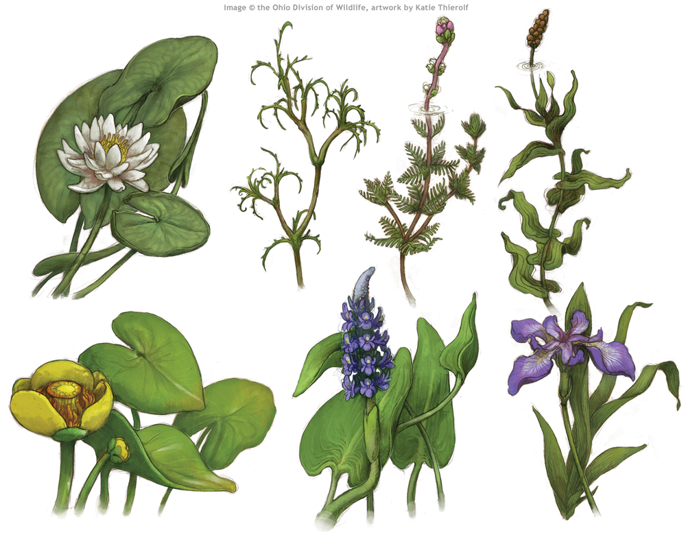 Pond Plant Illustrations