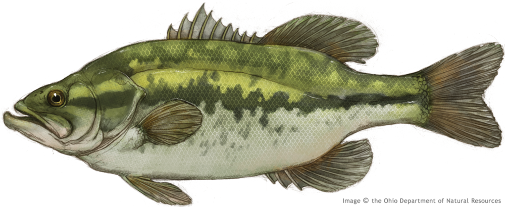 Thierolf_f_LargemouthBass.png