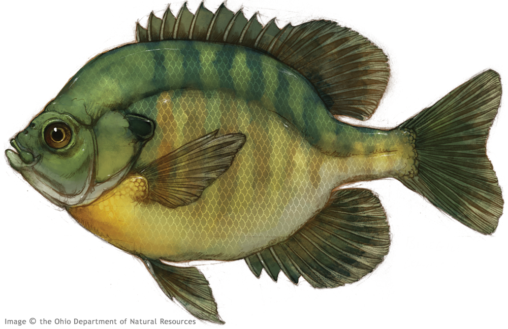 Thierolf_f_Bluegill.png