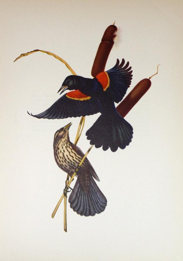 blackbird4.jpg