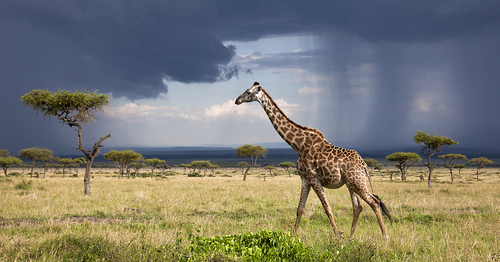 shows giraffe rain.jpg