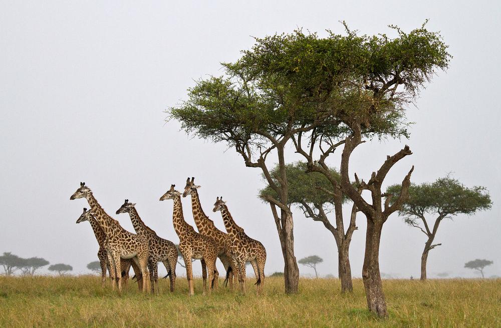 shows giraffes in rain.jpg