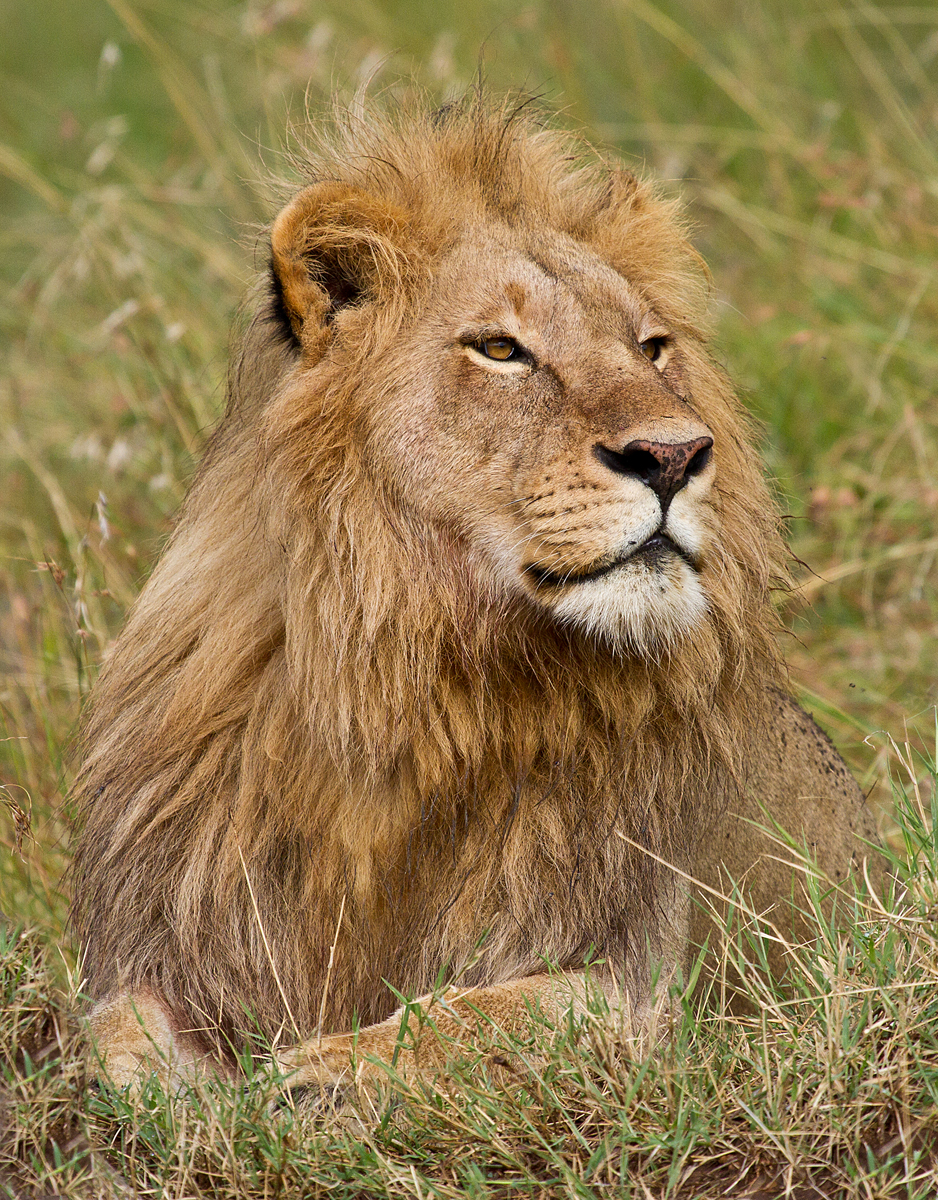 shows lion majestic.jpg