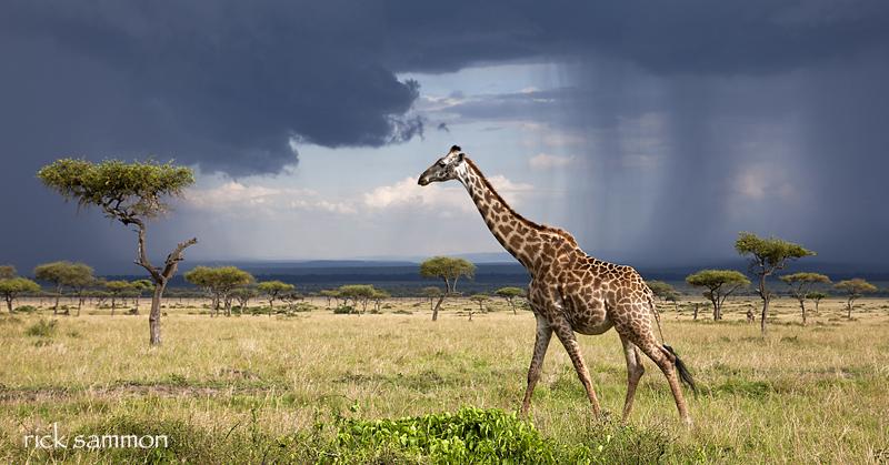 sammon giraffe.jpg