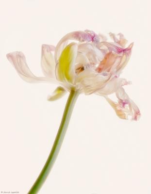 Half-Dead Tulip.jpg