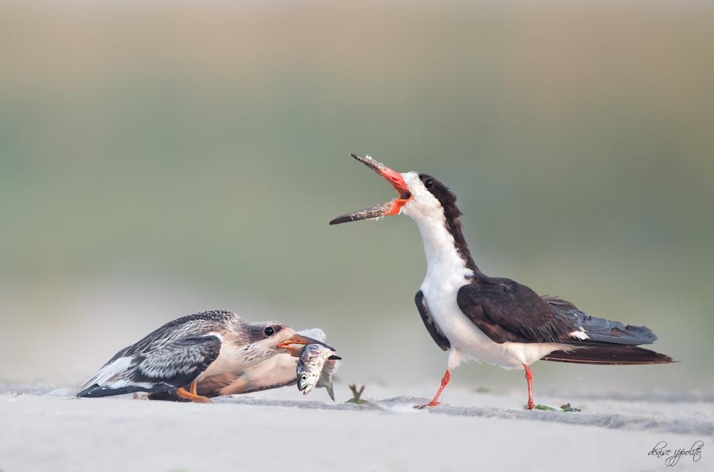 Black Skimmer with chick feeding.jpg