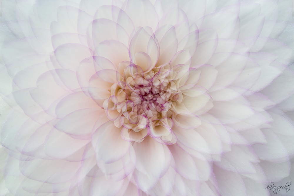 Dahlia Multiple Exposure.jpg