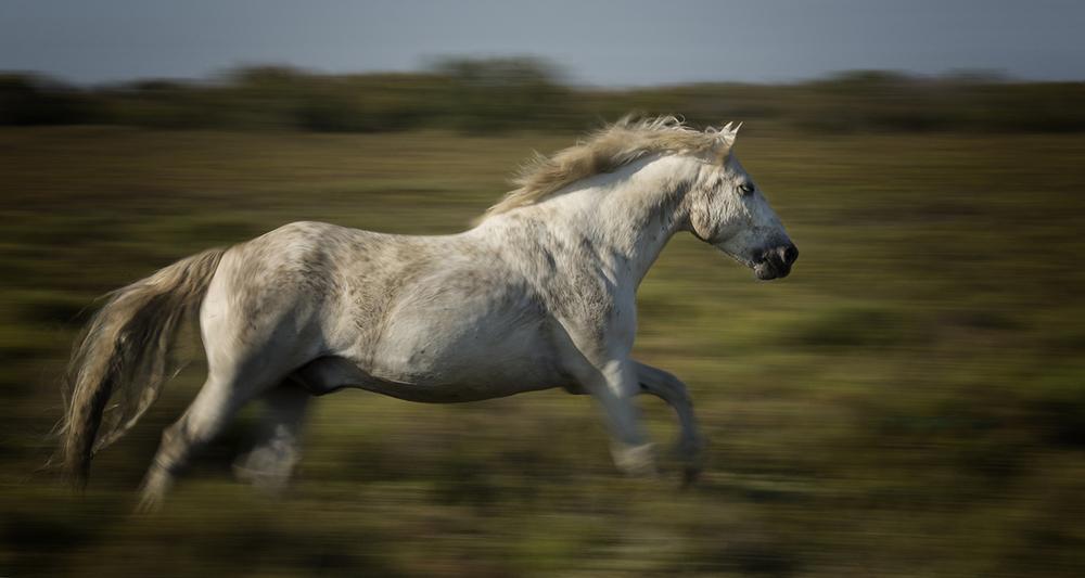 rick sammon camargue horses 3.jpg