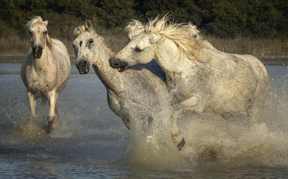 rick sammon camargue horses 5.jpg