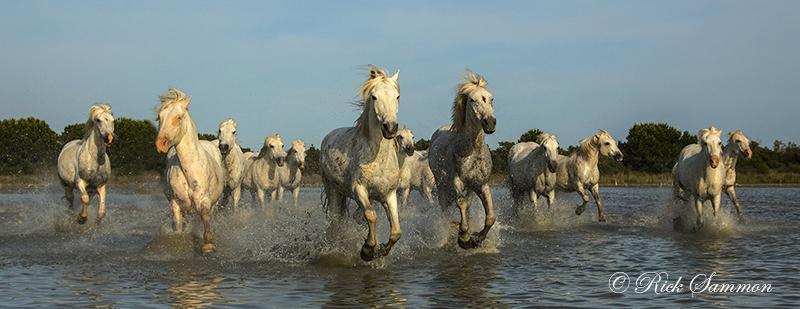 rick sammon camargue horses 8.jpg