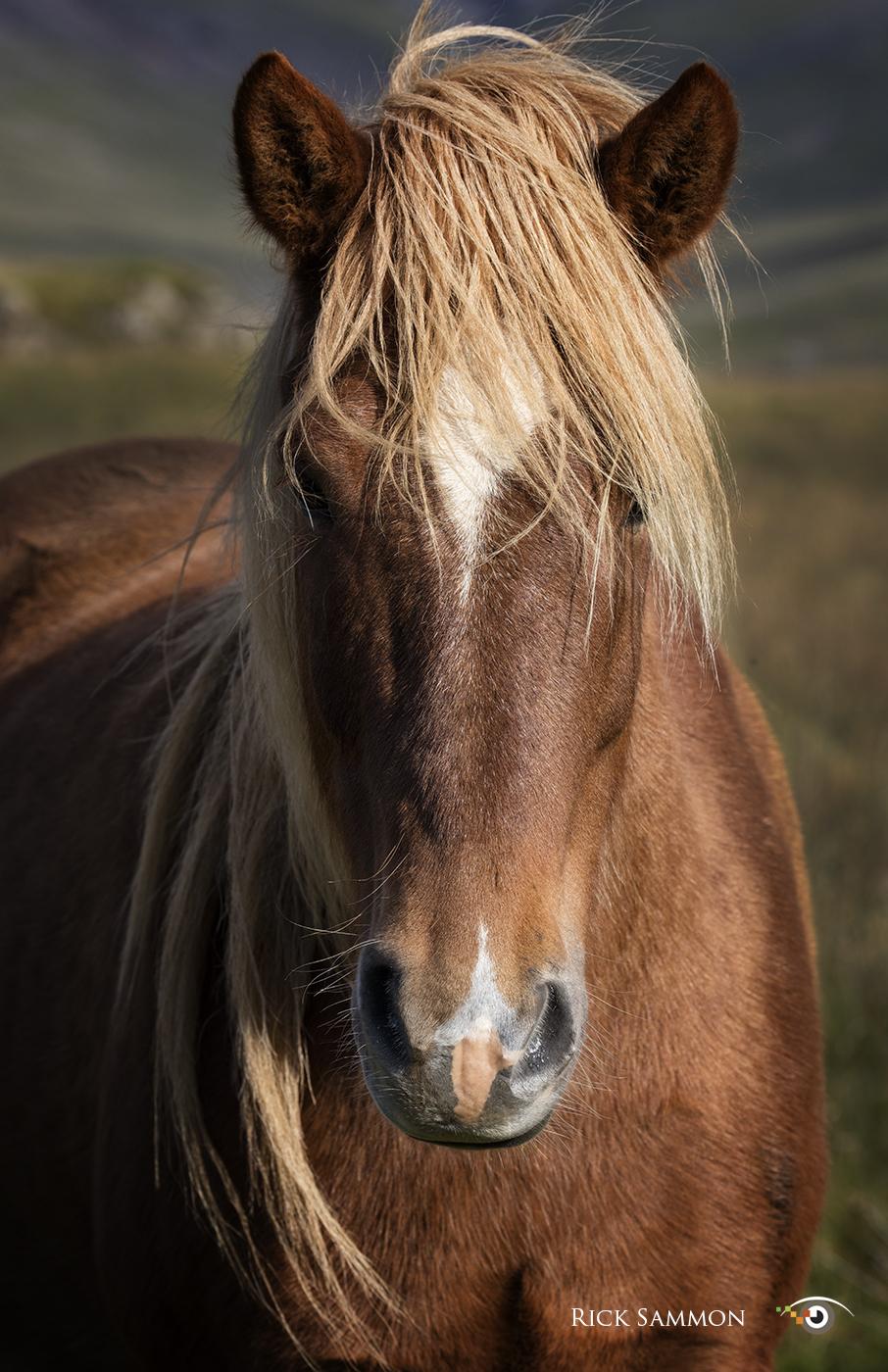 Rick Sammon Iceland Horse.jpg