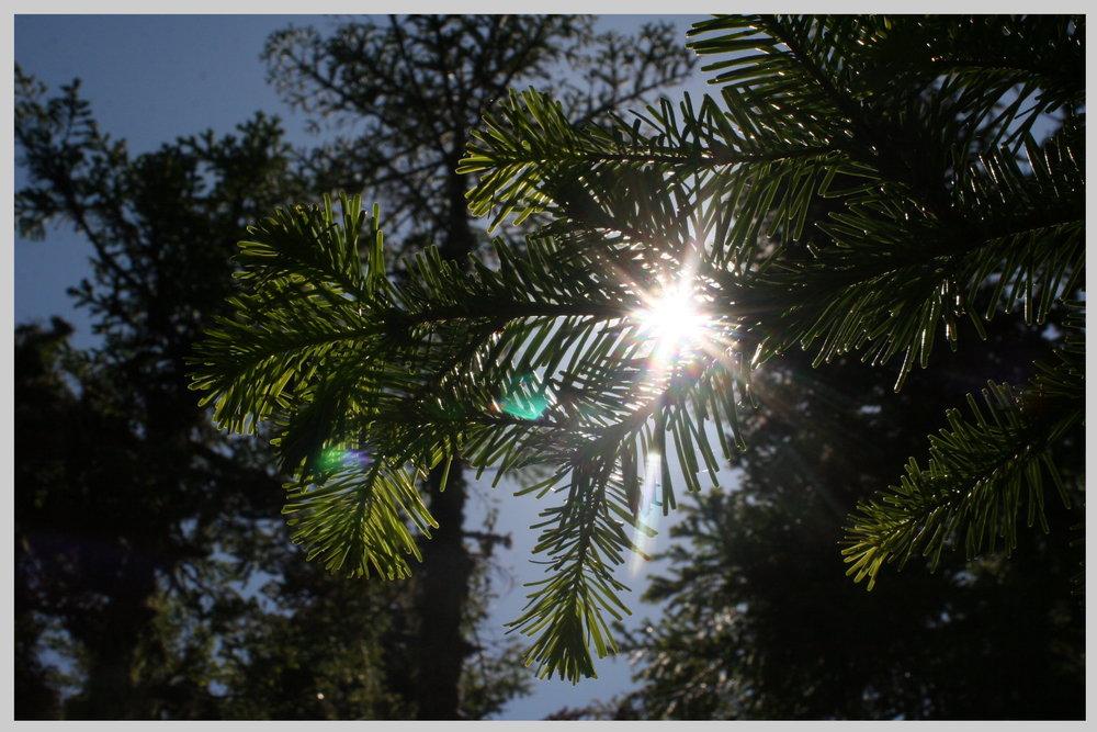 sun_pine.jpg