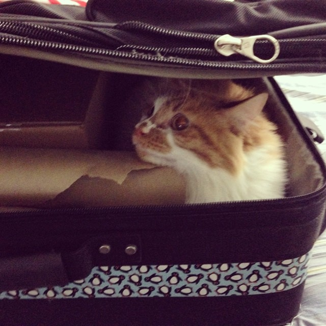 Leadership cat wants to lead. Mac is determined to go to the #FBLAPBL National Leadership Conference. #ExcellenceInAction #NLC2014 #CAPBL