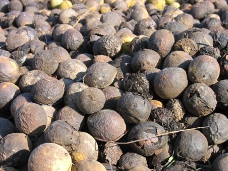 walnuts%20in%20truck.JPG
