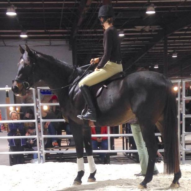 Diaz patiently being the demo horse for Roxanne Bowman of County Saddlery during the saddle fitting demonstration at the Maryland Horse Expo in January, 2015