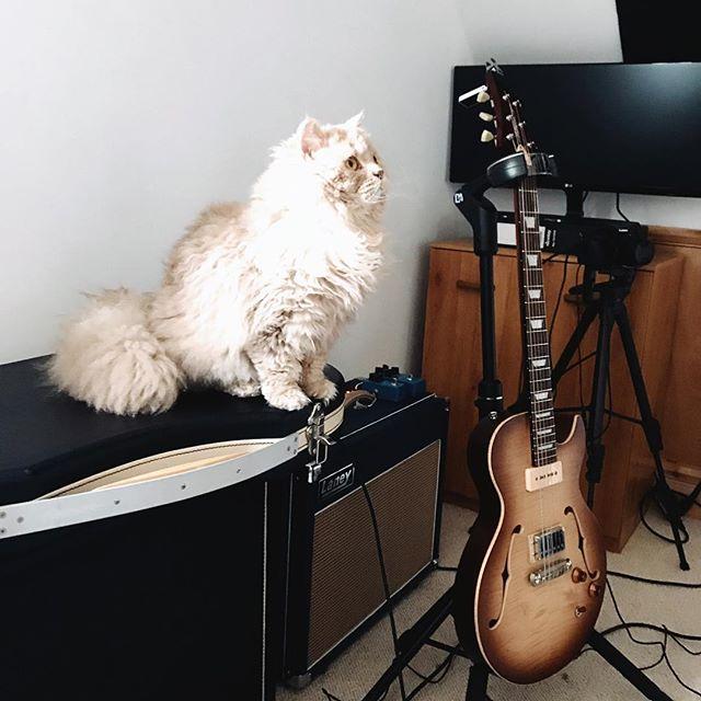 Floof and Fibenare, 2 of the 3 loves in my life. @catsonamps Lois is growing fast! Accompanying me here for a jamming/admin day. 😻🎸 • • • • • #catsonamps #fibenare #hawkpicks #victoryamps #laneyamps #customguitars #selkirkrex #kittens #catsofthegram #flametop #guitarporn #p90pickups #jazzguitars #semihollow #guitarcat #guitarstagram #instaguitars #dnaguitargear #guitarlife #guitarlover #jazzguitarist