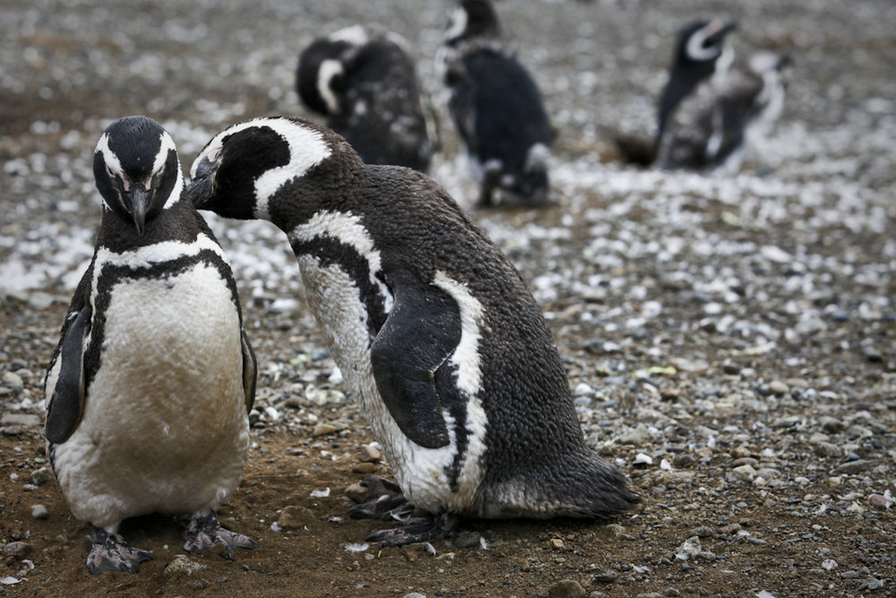 Penguins mate for life showing surprising human characteristics and affection which in a cold place such as Punta Arenas, Chile, I can only imagine it must be nice to know that you have someone to keep you warm!