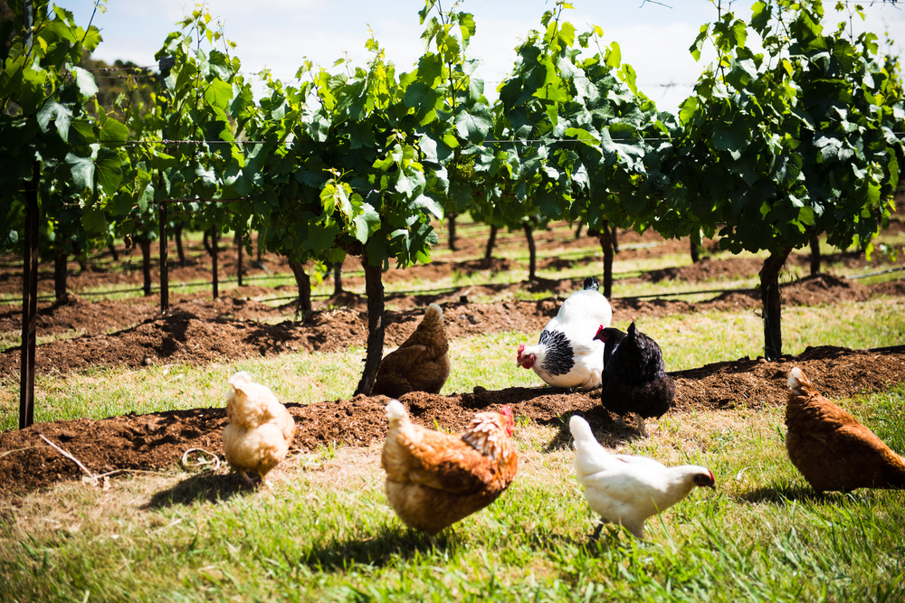 Lark Hill Vineyard; Chooks
