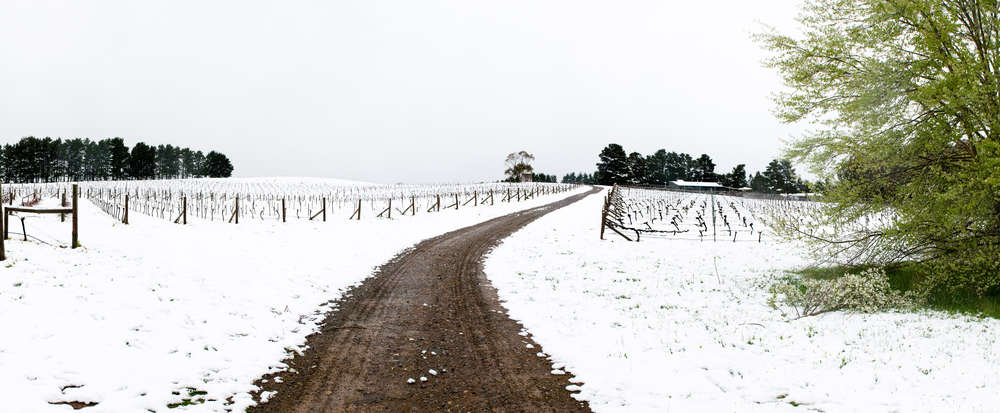 Lark Hill Vineyard; Snow Panorama