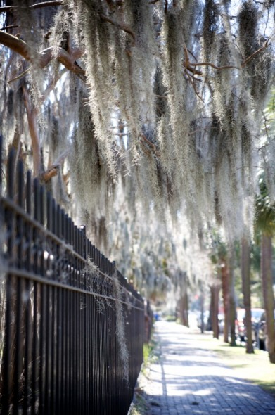 Spanish moss next to a cemetary.
