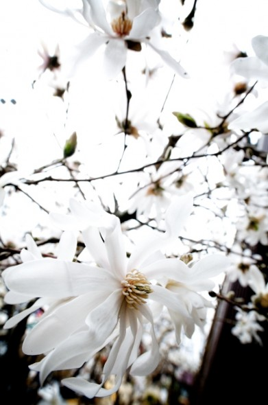 One of the first signs of Spring!!  Star Magnolia's!