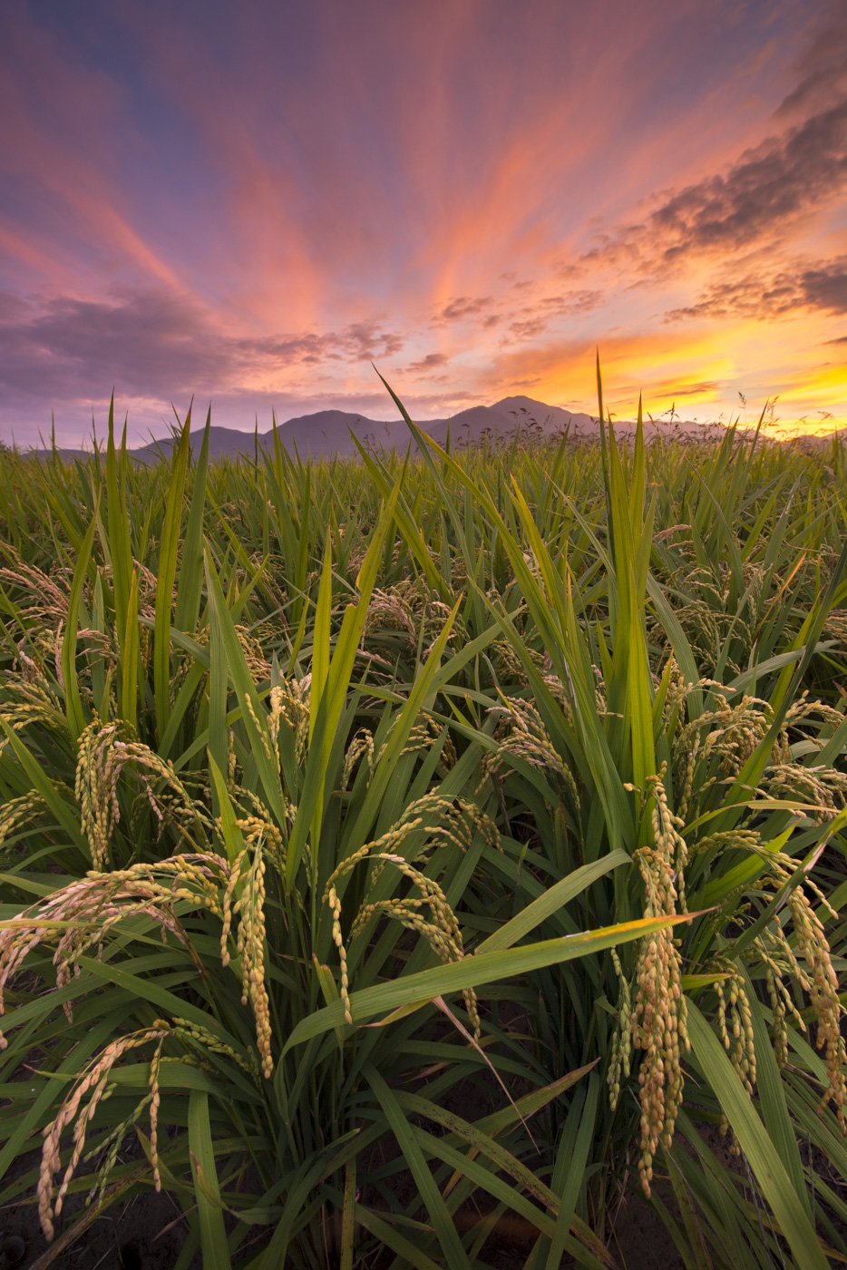 ricefieldsunset.jpg