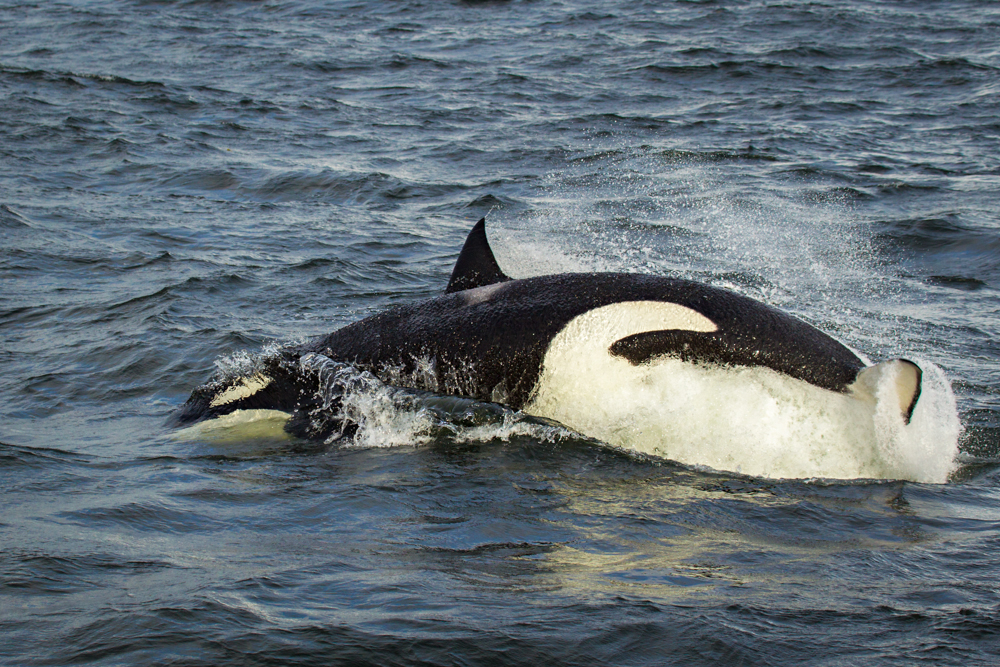 Killer whale attacking a Steller's sea lion