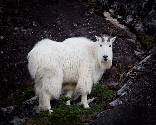 Mountain goat from moving boat. Canon 1D Mk III, EF 800mm f/5.6L, and RRS PG-02
