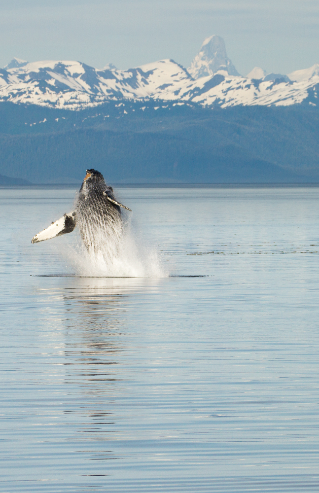 A humpback whale going for it in front of Devil's Thumb