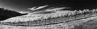 Victoria's IR pano of the Midnight Cellars vineyard